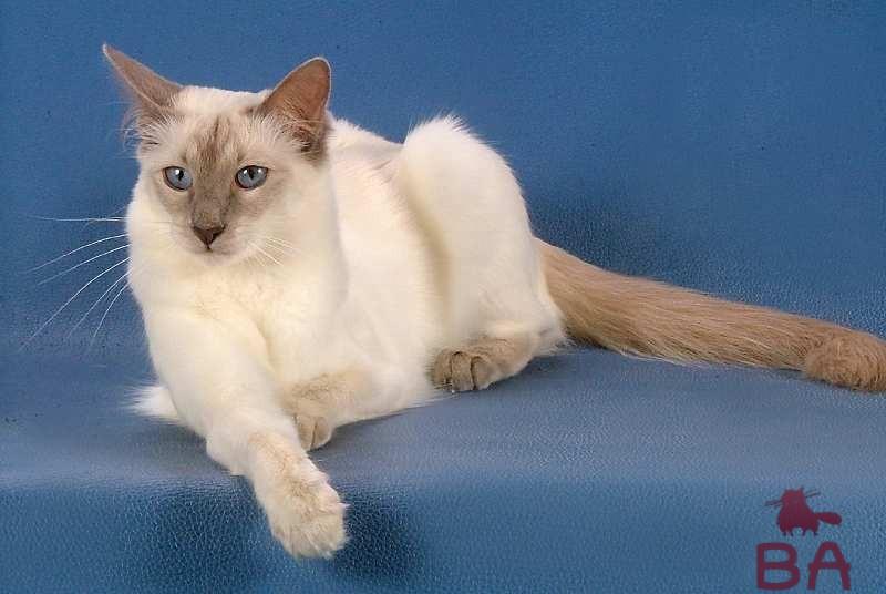 Балинезийская порода кошек: история происхождения