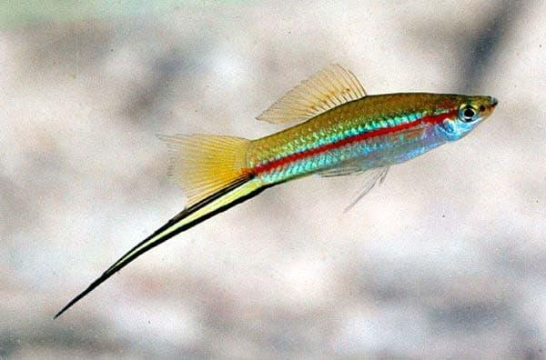 Меченосец красивая рыбка