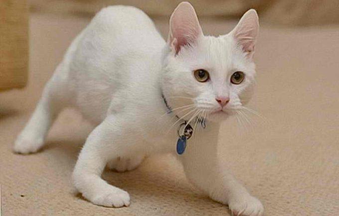 последствия рахита у кошек