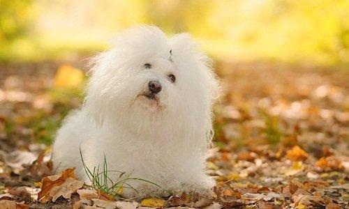болоньез порода собак