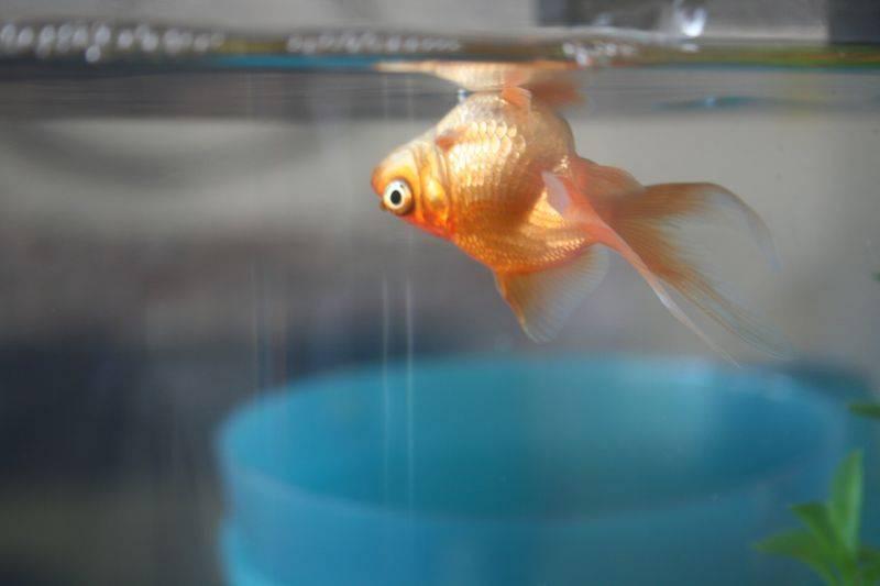Мертвая рыбка в аквариуме