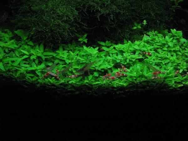 Стаурогин - прекрасное аквариумное растение