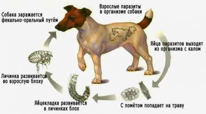 цикл развития глистов внутри собаки