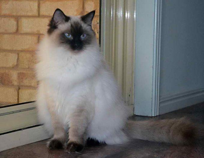 взгляд кошки регдолл