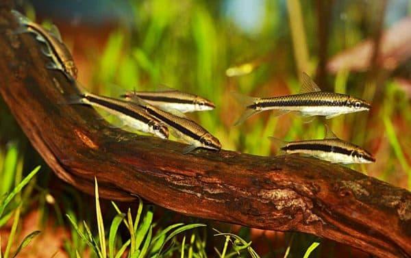Прекрасный сиамский водорослеед