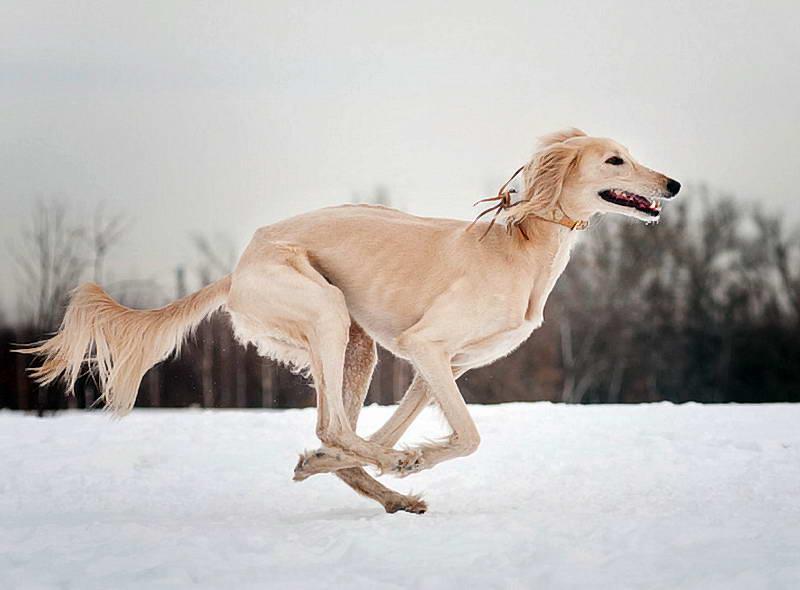 Порода салюки: красивые фото, описание характера и поведения одной из самых быстрых собак в мире