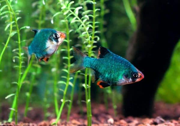 Мшистый барбус - прекрасная рыбка в аквариуме