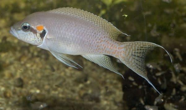 Принцесса Бурунди в аквариуме