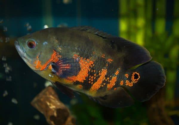 Астронотус тигровый - удивительная рыбка