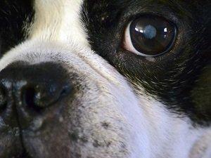 катаракта у собак лечение