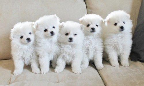 американская эскимосская собака купить щенка