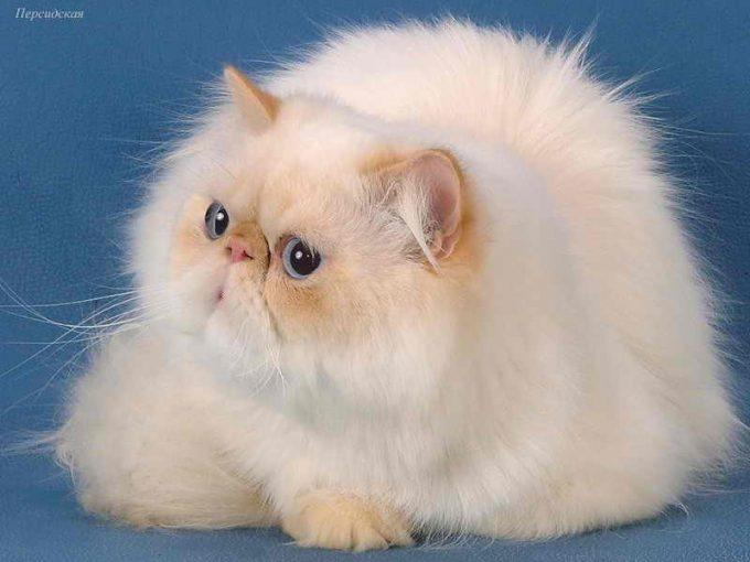 стандарты персидского кота