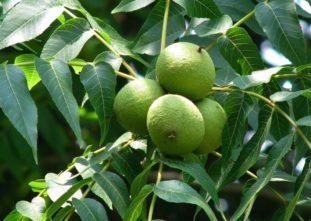 Несозревшие плоды черного ореха