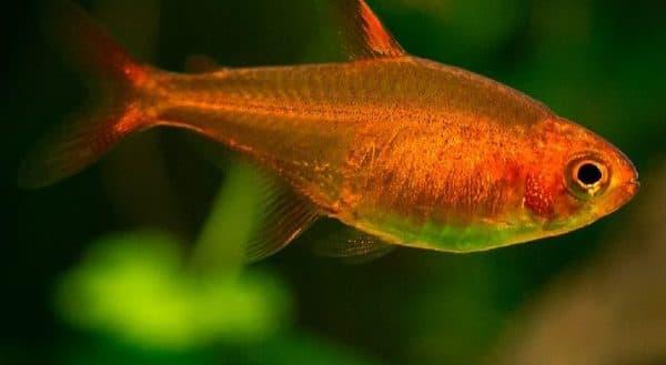Тетра Аманда в аквариуме