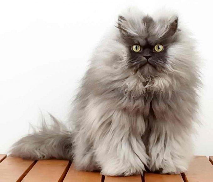 ухоженный пушистый кот