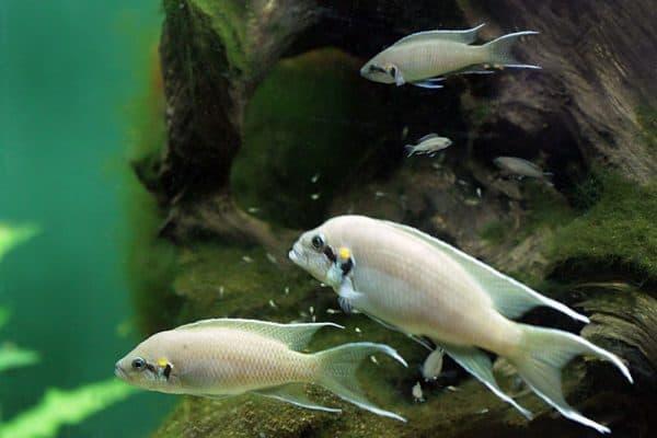 Принцесса Бурунди - прекрасная аквариумная рыбка
