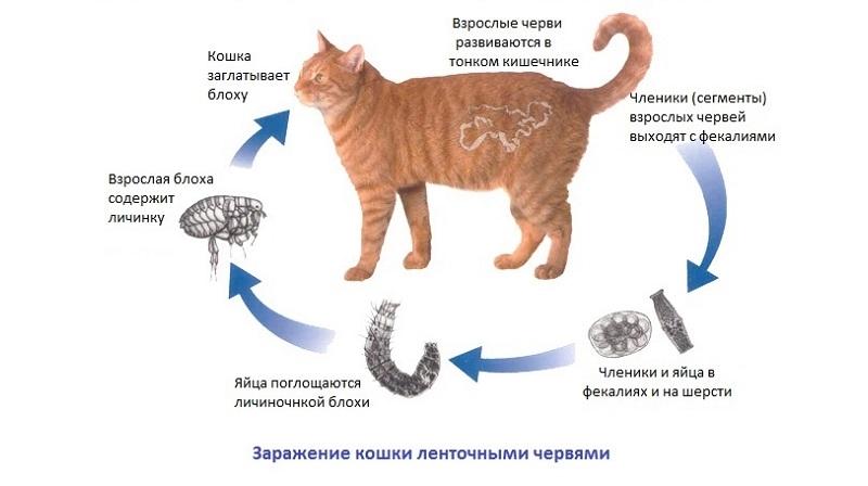 Как вылечить глисты у кошек способы применения препаратов