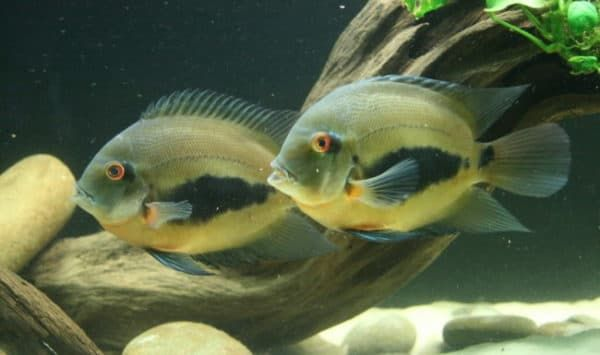 Уару чернопятнистый - прекрасная рыбка
