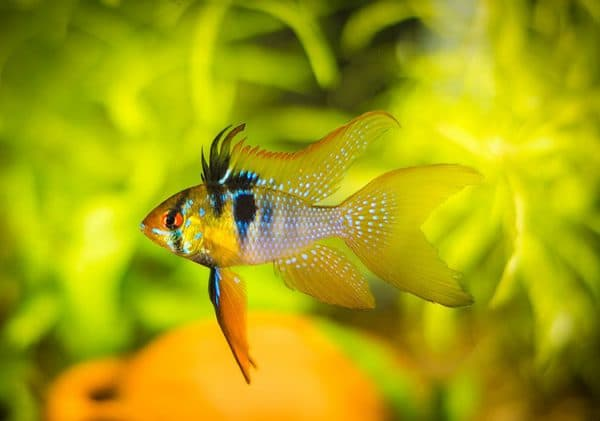 Апистограмма Рамирези безумная рыбка