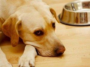 гастрит у собак симптомы и лечение питание
