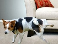 собака метит в квартире