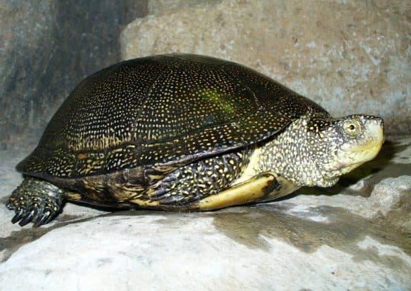Европейская болотная черепаха читайте статью