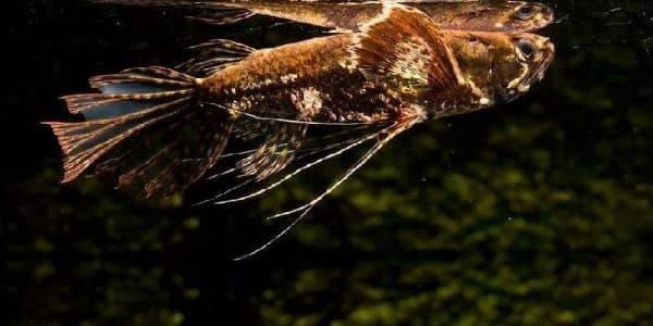 Пантодон аквариумная рыба бабочка