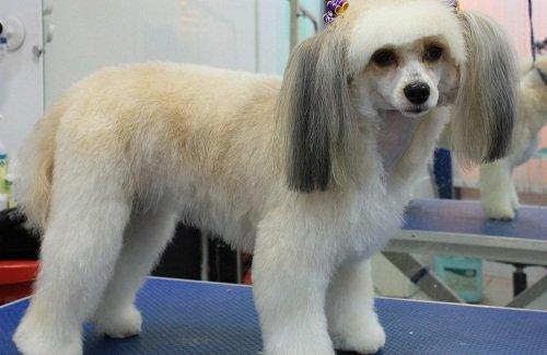 китайская хохлатая собака фото лысая