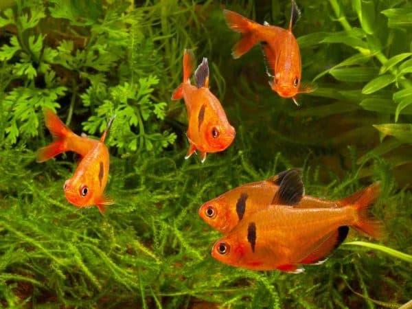 Минор рыбка разведение