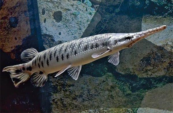 Панцирная щука - удивительная рыбка в аквариуме