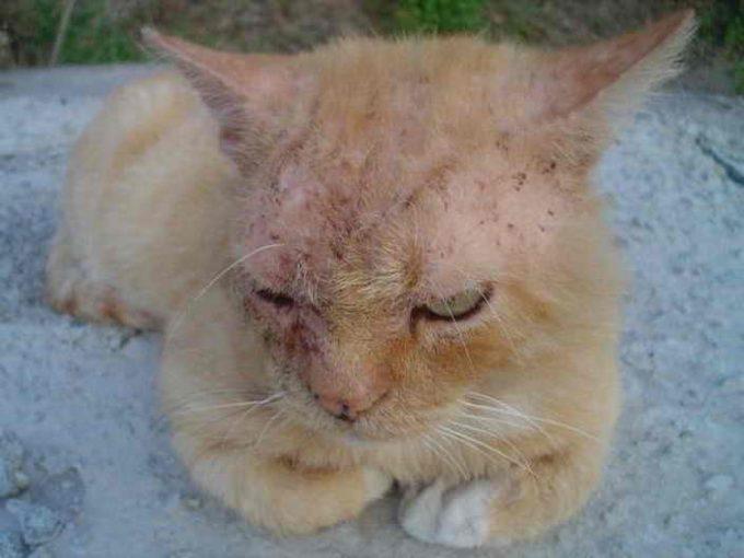 симптомы чесотки у кошек