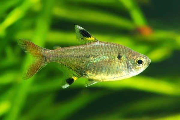 Пристелла - аквариумная рыбка