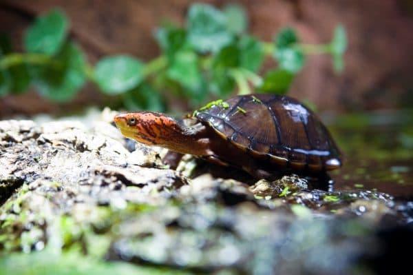 Яркая мускусная черепаха