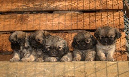 щенки тибетского спаниеля