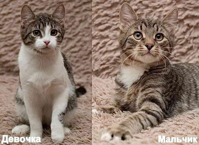 как отличить кошку от кота