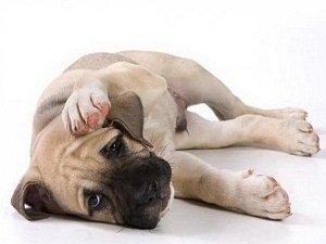 питомниковый кашель у собак