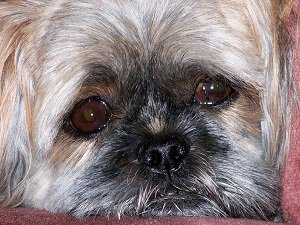 у собаки слезится один глаз что делать