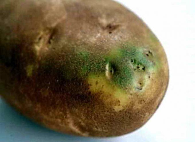 ядовитый клубень картофеля