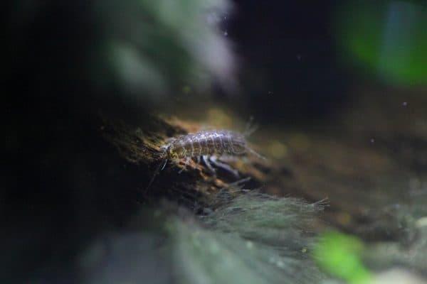 Ослик водяной в аквариуме