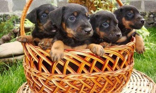 ягдтерьер купить щенка