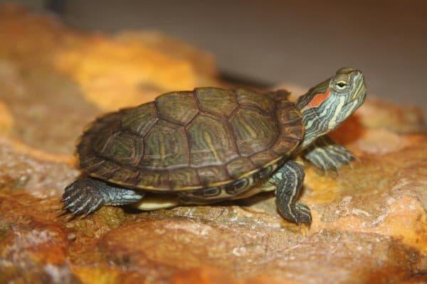 Красноухие черепахи - всеядны