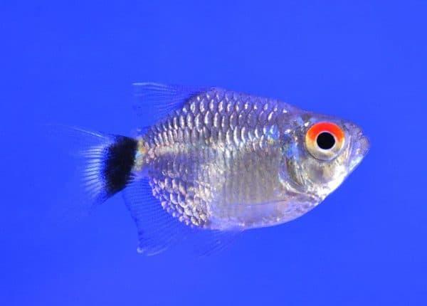 Филомена - красивая аквариумная рыбка