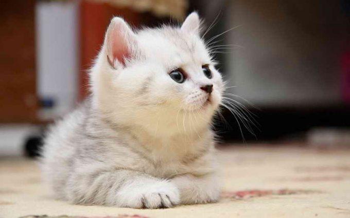 симптомы астмы у кошки
