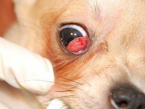 конъюнктивит у собак лечение в домашних условиях