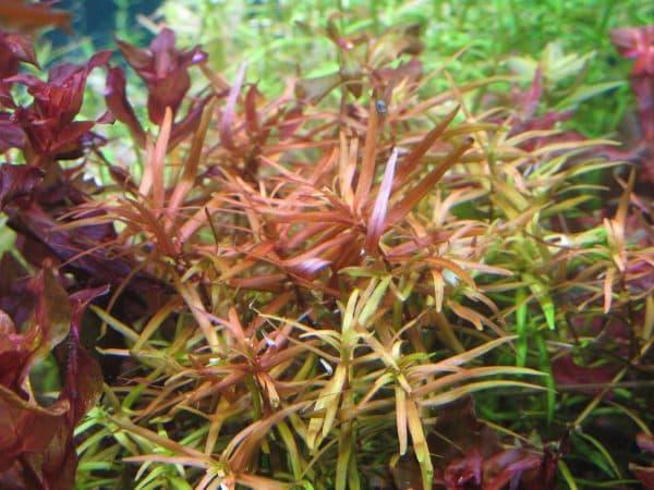 Дидиплис - удивительное аквариумное растение