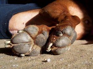отказывают задние лапы у собаки лечение