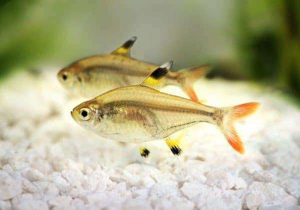 Пристелла - прекрасная рыбка в аквариуме