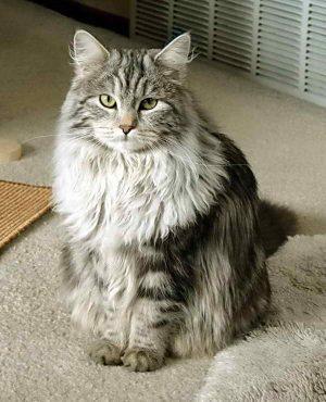 длинношерстная кошка без проблем с шерстью