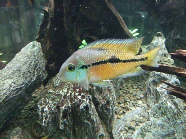 Никарагуанская цихлазома - прекрасная рыбка