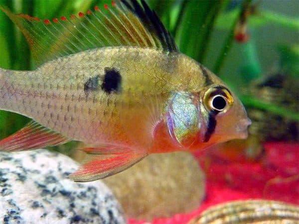 Бабочка боливийская - прекрасная рыбка